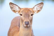 Female Roe Deer Close Up Portr...