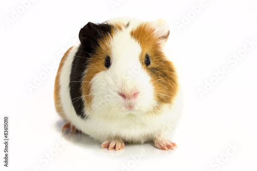 Fotografía  Guinea pig isolated on a white background .