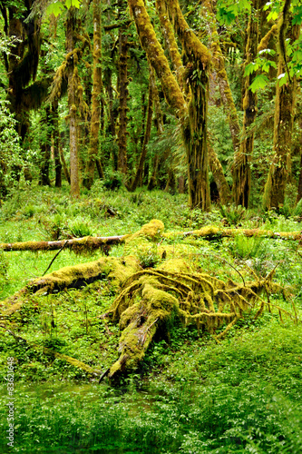 In de dag Bos The Quinault Rain Forest in the Olympic National Park, Washington State