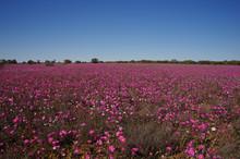 Pink Wildflowers In Western Au...