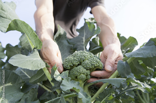 farmer picking broccoli Wallpaper Mural