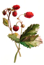 Hand Painted Illustration Of A Strawberry