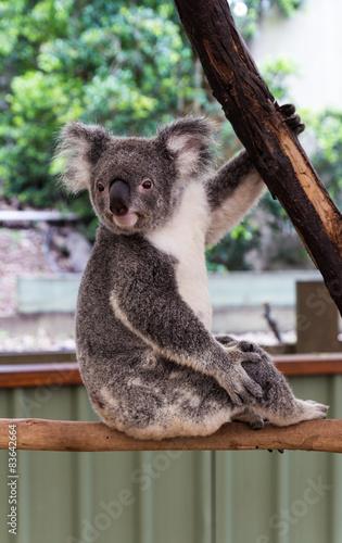 Garden Poster Koala Koala on the tree