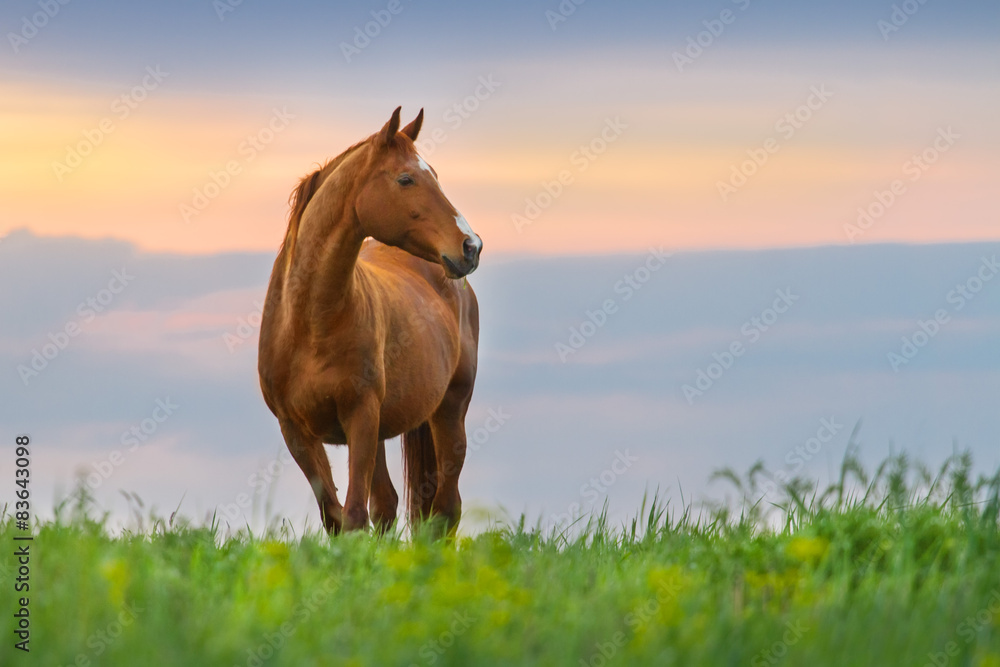 Fototapety, obrazy: Beautiful red mare on green pasture against sunset sky