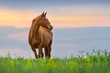 Beautiful red mare on green pasture against sunset sky