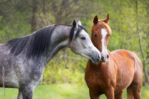 Obraz na plátne  Beautiful red and grey colour arabian horse couple in love