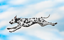 Dog Breed Dalmatian Jumping On A Background Of Blue Sky