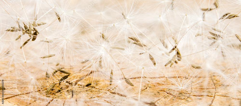 Fototapety, obrazy: white dandelion seeds on wooden background