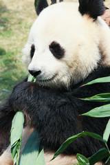 FototapetaPanda eating bamboo