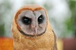 West Indian Ashy faced owl.