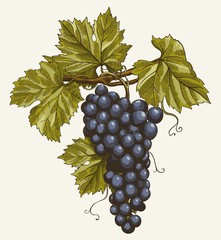 Fototapeta Do winiarni bunch of grapes