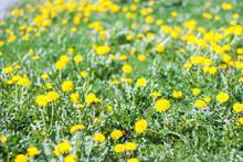 Lawn Flowers - Dandelion