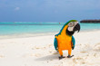 Funny bright colorful parrot on the white sand in the Maldives