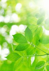 Fototapeta na wymiar green leaves