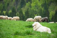 Sheep Dog Guard Herd In Polish...