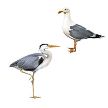 Grey Heron, Ardea Cinerea, Whi...