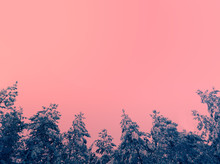 Background With Pine Trees Covered With Snow Against Pink Sky
