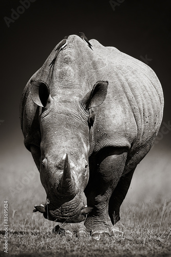 Tuinposter Neushoorn White Rhinoceros in due-tone