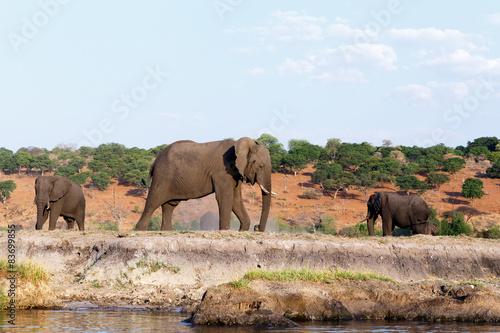 Aluminium Prints Elephant African Elephant in Chobe National Park