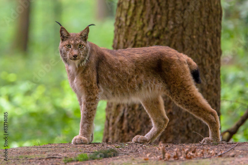 Spoed Foto op Canvas Lynx Looking Eurasian Lynx