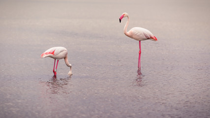 Obraz Flamingos searching for food