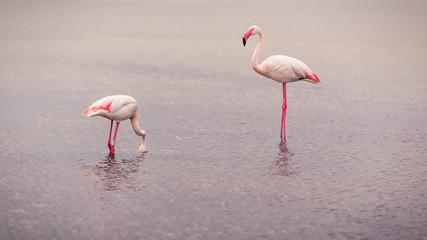 Fototapeta Wieloczęściowe Flamingos searching for food