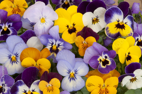 mixed colors of pansies in garden