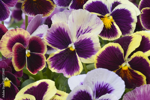 Papiers peints Pansies different colors pansies in garden
