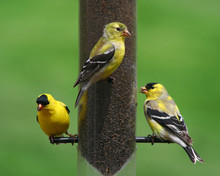 Three Yellow Finches At A Feeder
