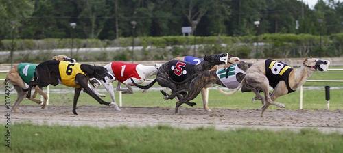 Fotografiet greyhound dogs racing