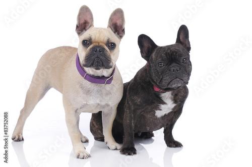 Zwei französische Bulldoggen auf weißem Hintergrund