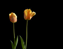 Two Red And Yellow Tulips Isol...