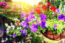 Colorful Petunias In Hanging Flowerpot