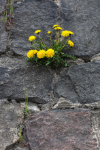Dandelion Growing In The Old Wall. Yellow Flower