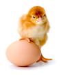 Newborn brown chicken with egg
