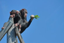 Two Chimps High Up Against Blu...