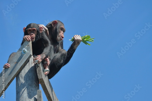 Photo Two Chimps High Up Against Blue Sky
