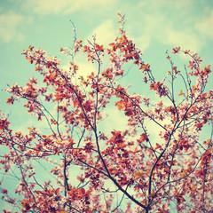 FototapetaCherry plum flowers on sky background in retro style