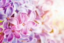 Purple Spring Lilac Flowers Bl...
