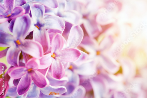 Purple spring lilac flowers blooming close-up.