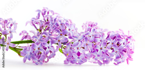 Spring lilac flowers blooming. Isolated on white, banner.