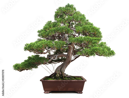 Foto op Canvas Bonsai Bonsaï / Bonsai - Juniperus chinensis
