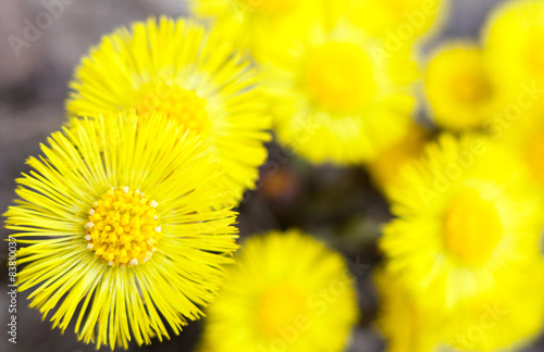 Valokuva  Yellow coltsfoot flowers (Tussilago farfara)