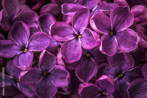 Stickers pour porte Lilac Macro image of spring lilac violet flowers, abstract soft floral