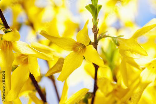 Fotomural Forsythie (Forsythia × intermedia Zabel), Nahaufnahme