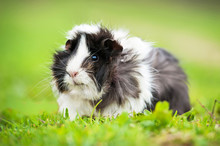 Guinea Pig Sitting Outdoors In...