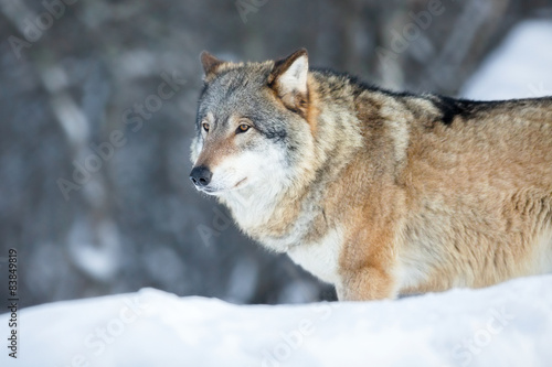 Wolf standing in the cold winter forest Canvas Print