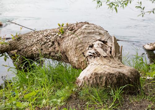 Photo  Vom Bieber gefällter Baum
