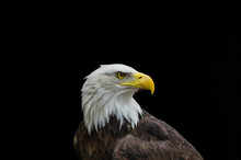 Bald Eagle In Profile Isolated On Black Background
