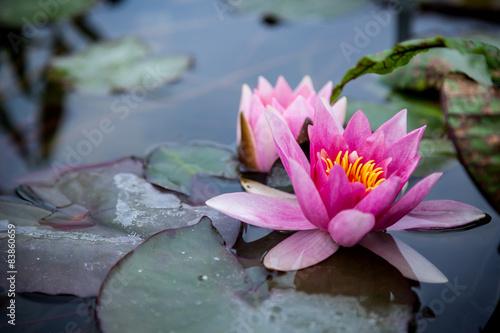 Deurstickers Waterlelies Pink Lotus